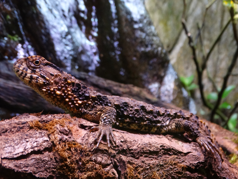 8_The adult Chinese Crocodile Lizard 1 (photo Debbie Ryan)