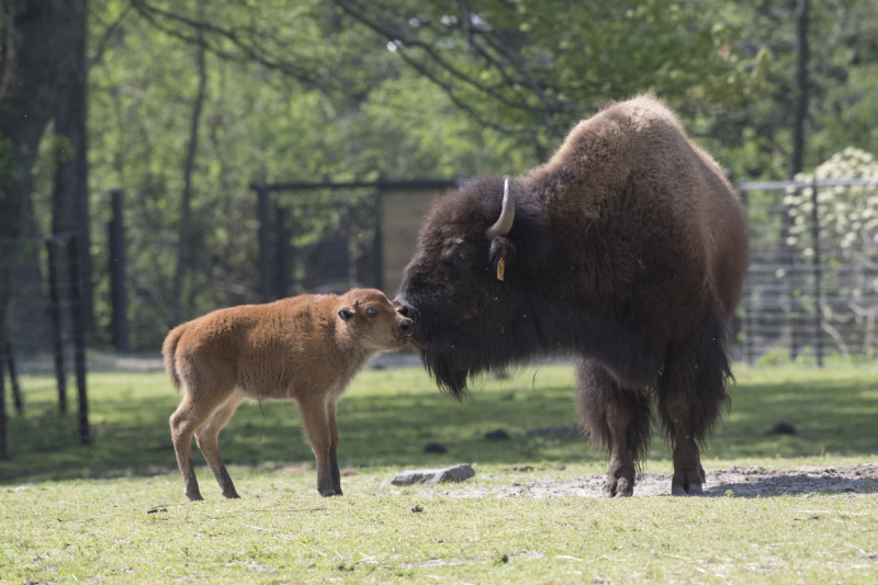 1_Julie Larsen Maher_2192_American Bison and Calves_BZ_05 01 17