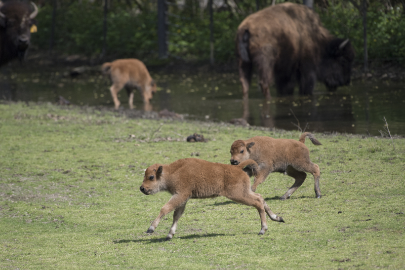 5_Julie Larsen Maher_2124_American Bison and Calves_BZ_05 01 17