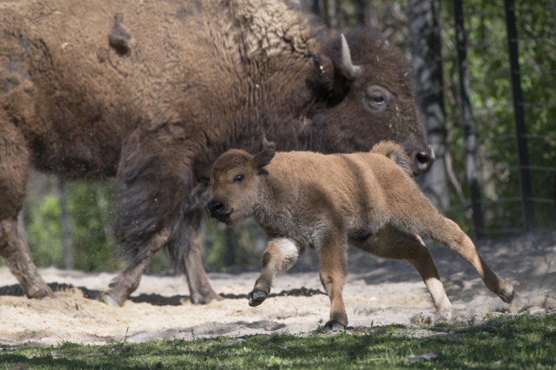 8_Julie Larsen Maher_3492_American Bison and Calves_BZ_05 03 17