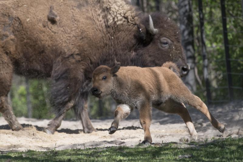 8_Julie Larsen Maher_3492_American Bison and Calves_BZ_05 03 17