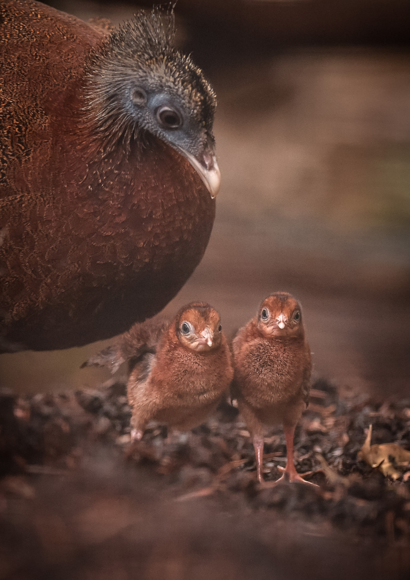 4_Rare pheasant chicks hatch in Chester Zoo first  (22)