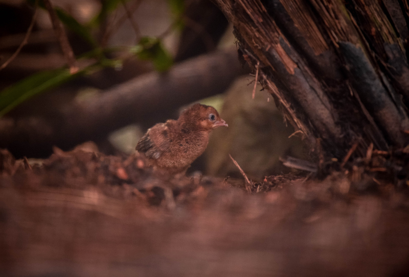 6_Rare pheasant chicks hatch in Chester Zoo first  (16)