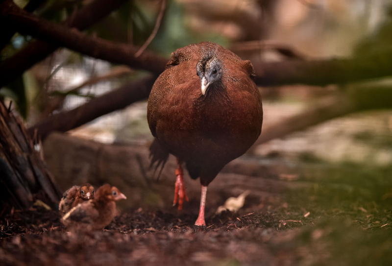 7_Rare pheasant chicks hatch in Chester Zoo first  (17)