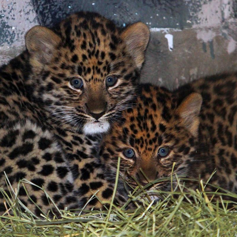 Leopardcubs2