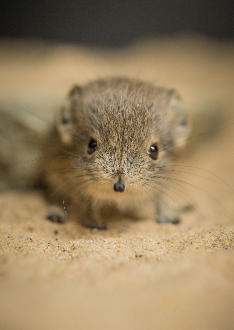 Tiny sengi twins born at Chester Zoo (22)