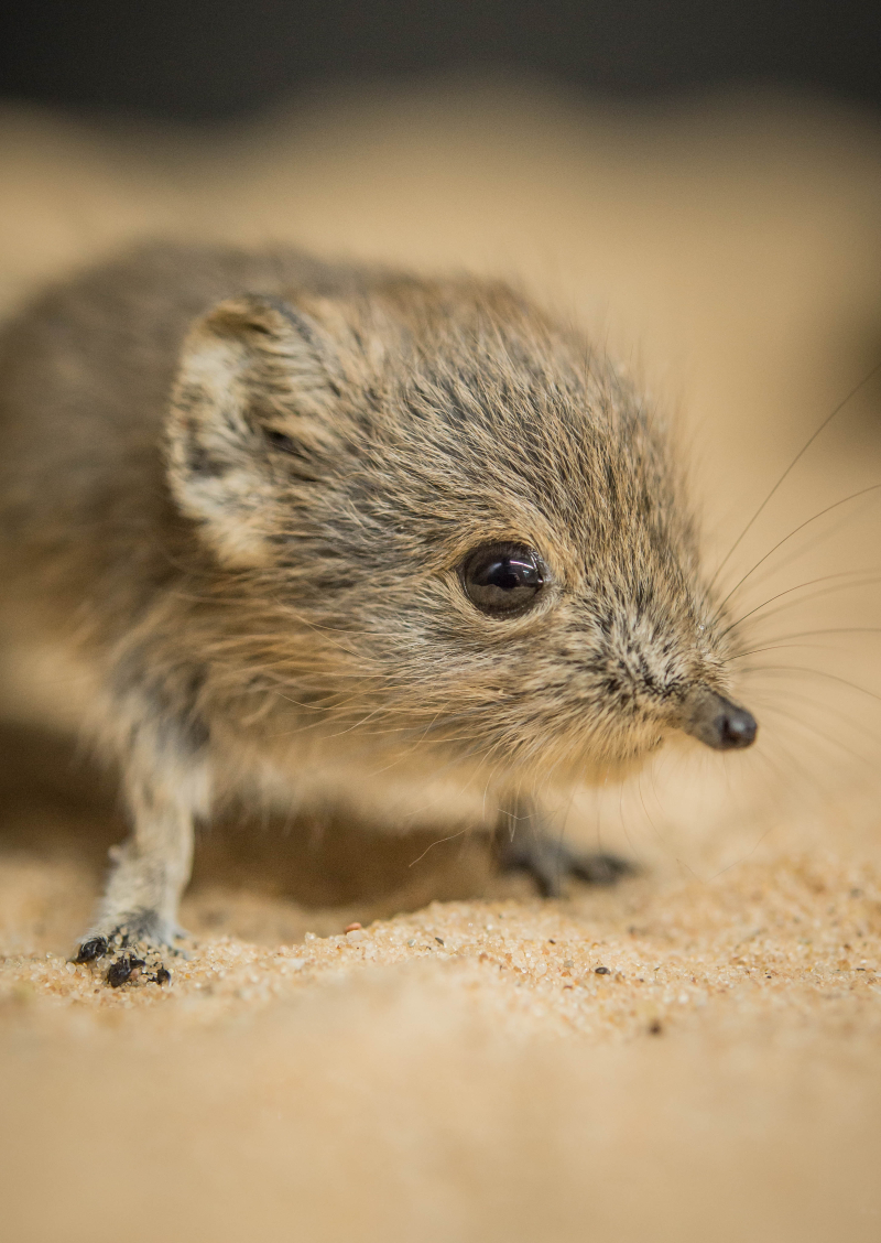 Tiny sengi twins born at Chester Zoo (23)