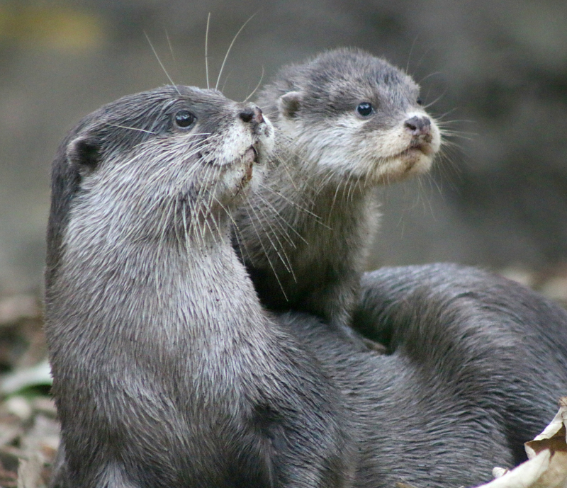 Otter Pup 12_Photo by Paul Fahy
