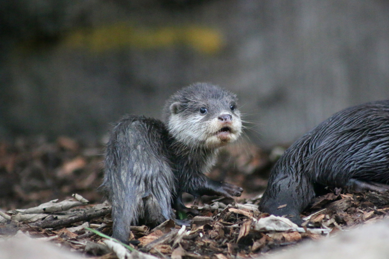 Otter Pup 8_Photo by Paul Fahy
