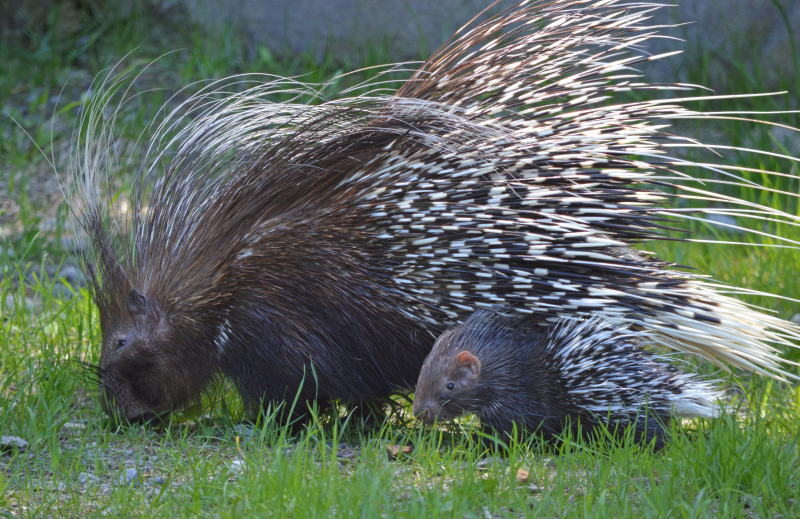 1_porcupines in grass