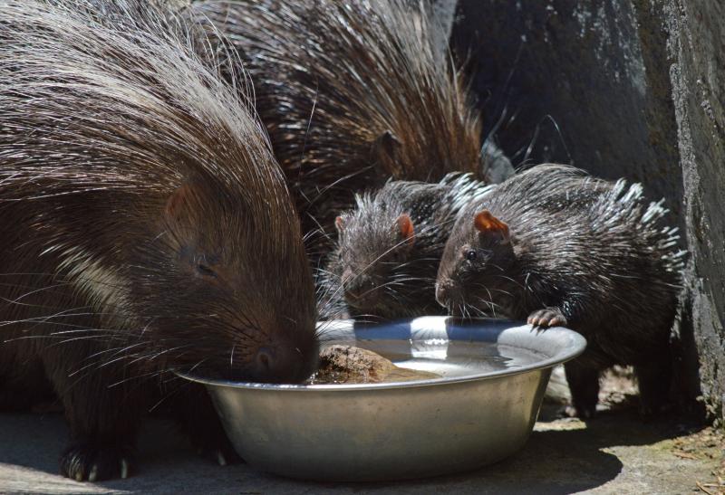 2_porcupine drink