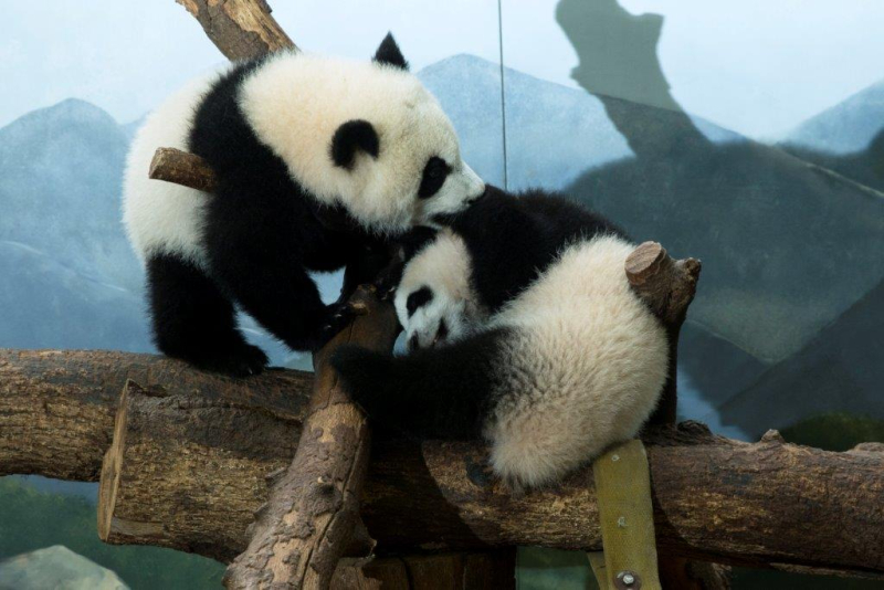 Ya Lun and Xi Lun_Zoo Atlanta 2