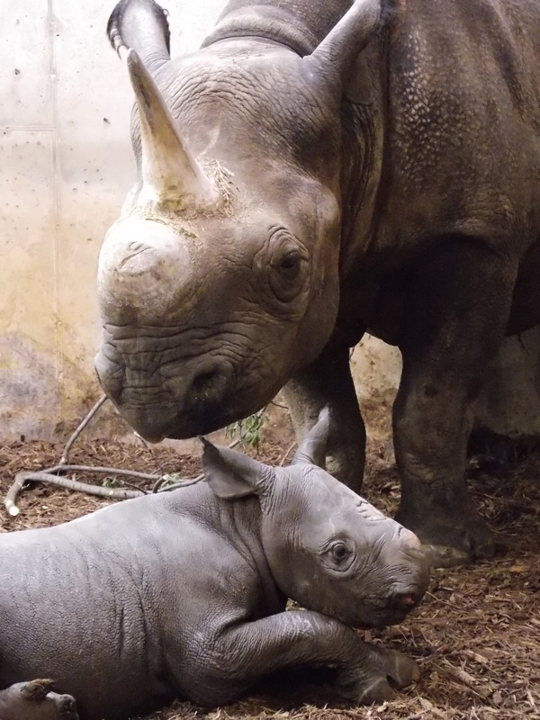 Black-rhino-Kati-Rain-and-Moyo_photo by Elizabeth Irwin Saint Louis Zoo_5-19-2017_web