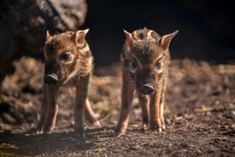 Tiny trotters! Red river hog piglets born at Chester Zoo (3)