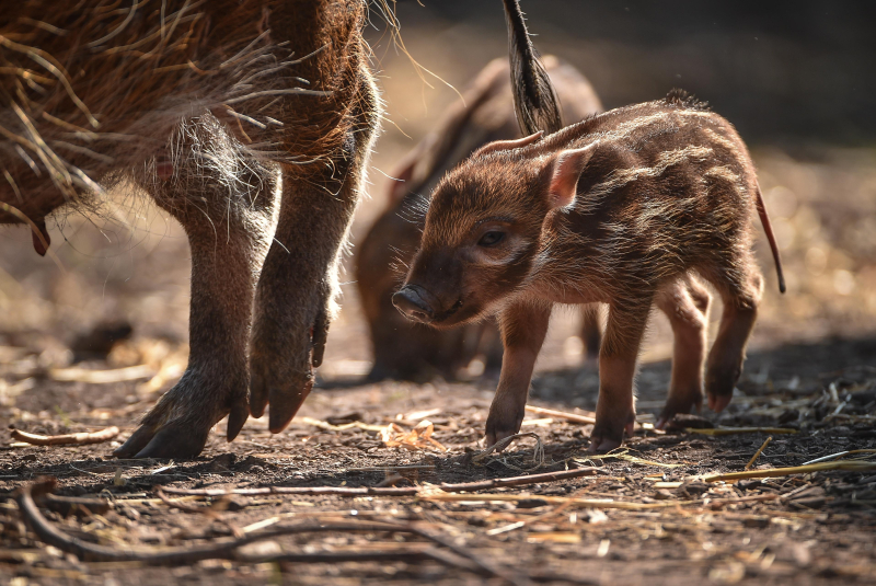 Tiny trotters! Red river hog piglets born at Chester Zoo (5)
