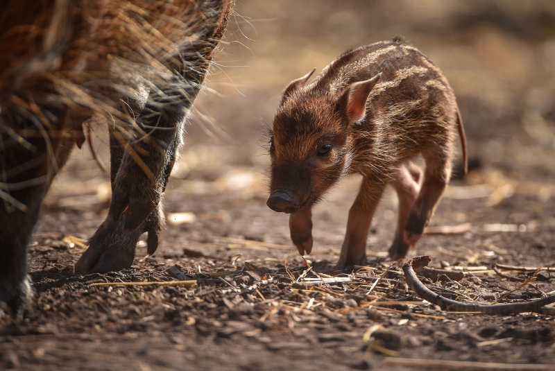 Tiny trotters! Red river hog piglets born at Chester Zoo (6)
