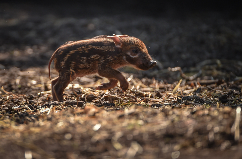 Tiny trotters! Red river hog piglets born at Chester Zoo (34)