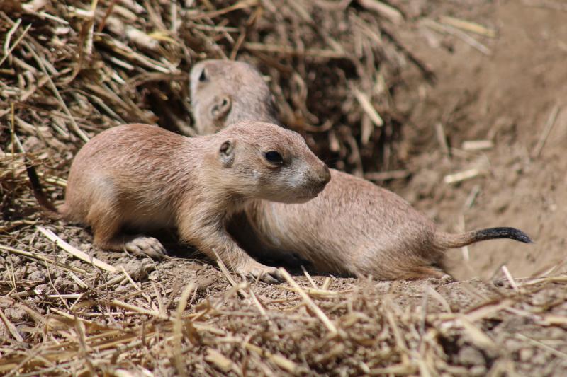 2_prairie dog pup (2)