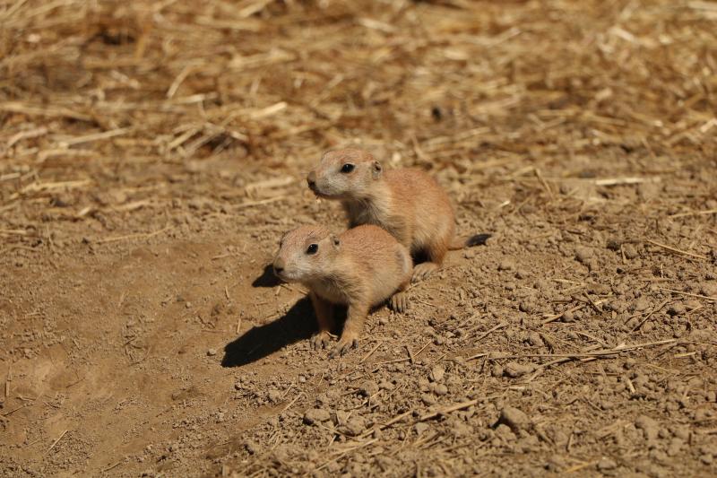 4_prairie dog pups (4)