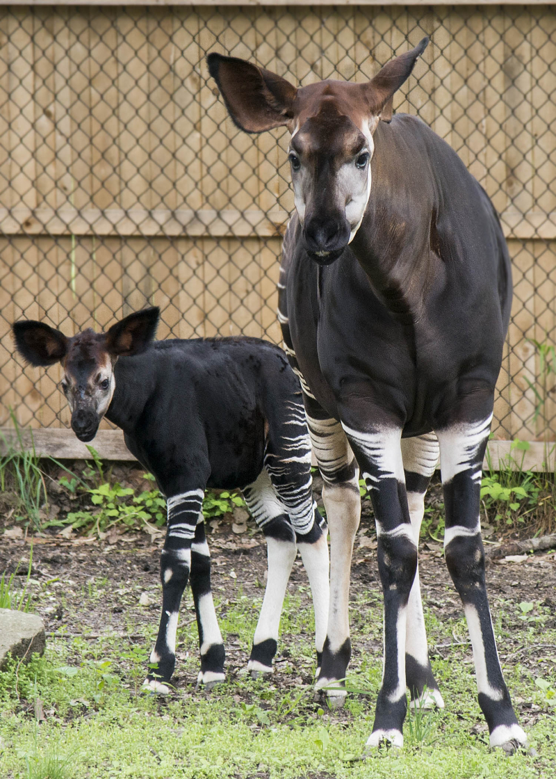 5_Brookfield Okapi 5