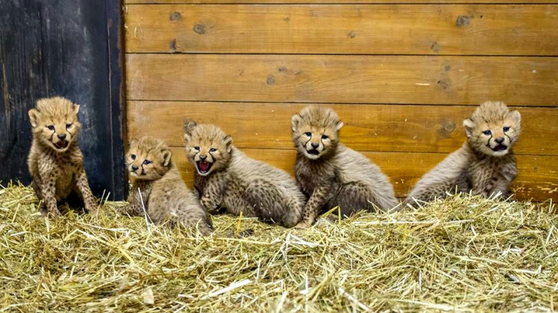 Cheetah Quintuplets Born at Prague Zoo