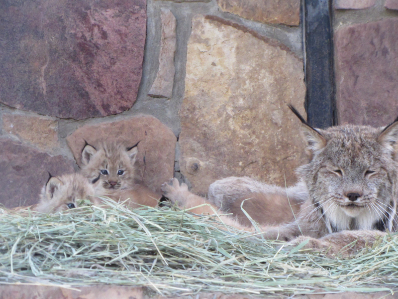 3_Lynx kittens outside -  (4)