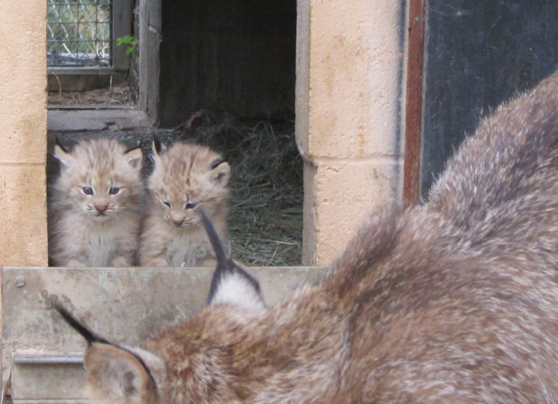 6_Lynx kittens outside -  (1)