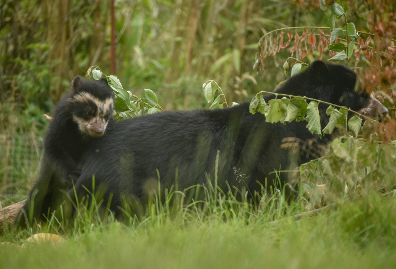 GB first. Rare Andean bear cub born to mum Lima at Chester Zoo (9)