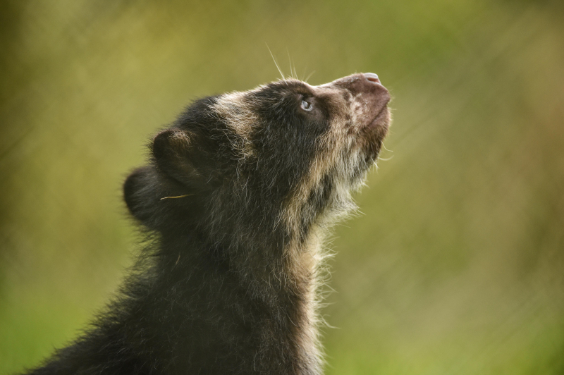 GB first. Rare Andean bear cub born at Chester Zoo (5)