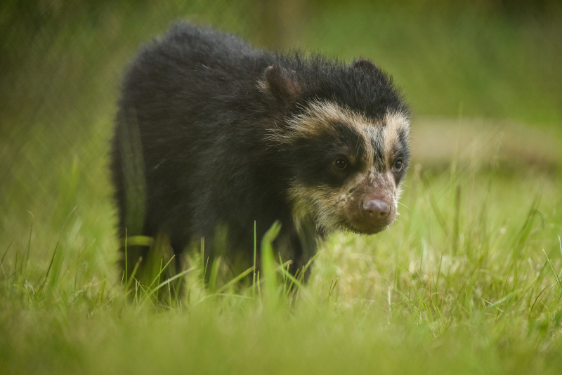 GB first. Rare Andean bear cub born at Chester Zoo (3)
