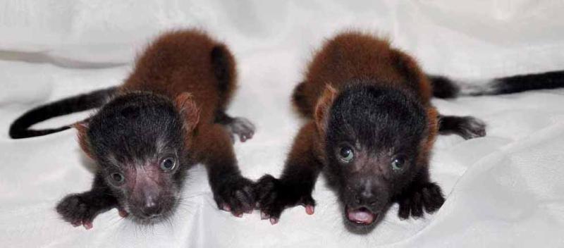 1_Baby lemurs 05312017 B