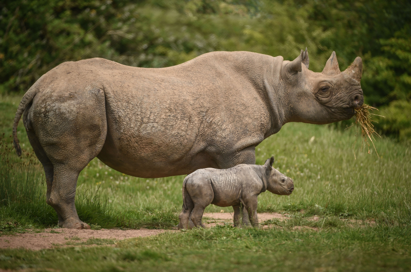 Kitani's calf was the first of the two rare rhinos to be born at Chester Zoo in a week (22)