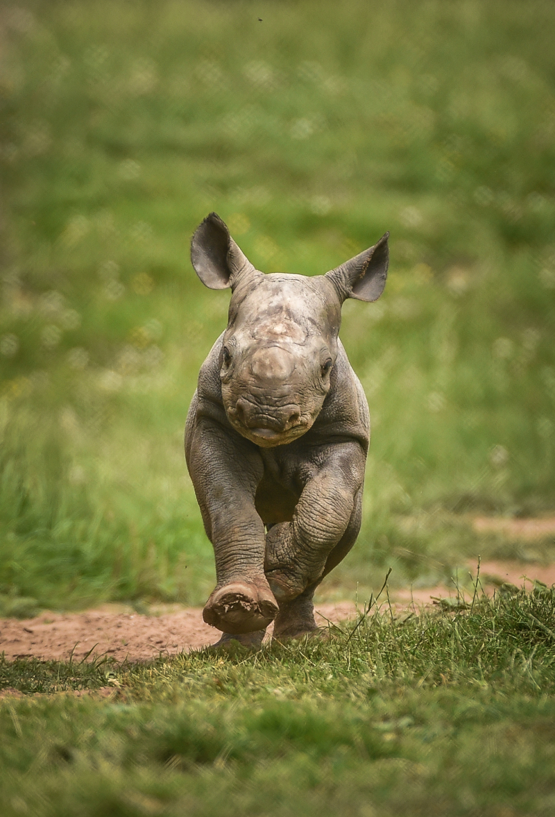 Kitani's calf was the first of the two rare rhinos to be born at Chester Zoo in a week (27)