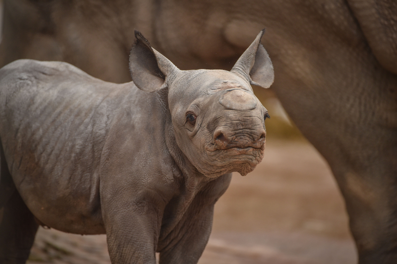 Zuri's calf was the second of two rare rhinos to be born at Chester Zoo in just a week (10)