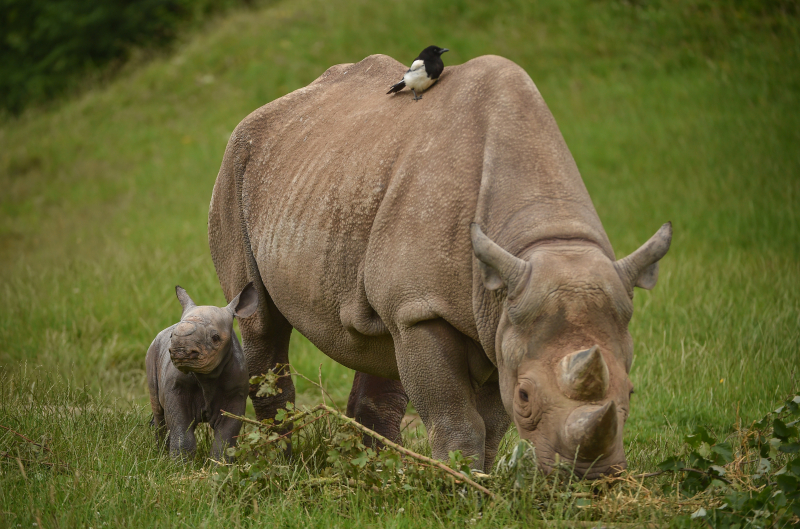 Zuri's calf was the second of two rare rhinos to be born at Chester Zoo in just a week (15)