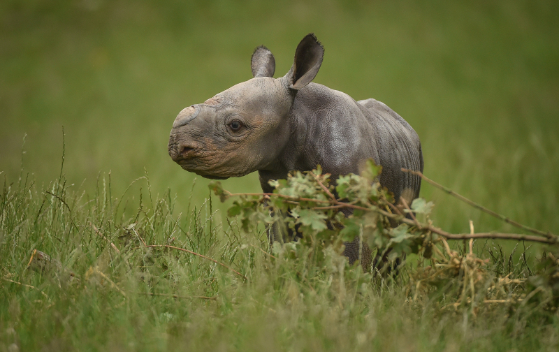 Zuri's calf was the second of two rare rhinos to be born at Chester Zoo in just a week (14)