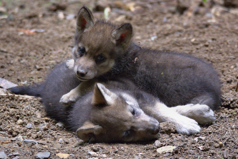 Wolf cubs  3 (photo credit Jackie Thomas)