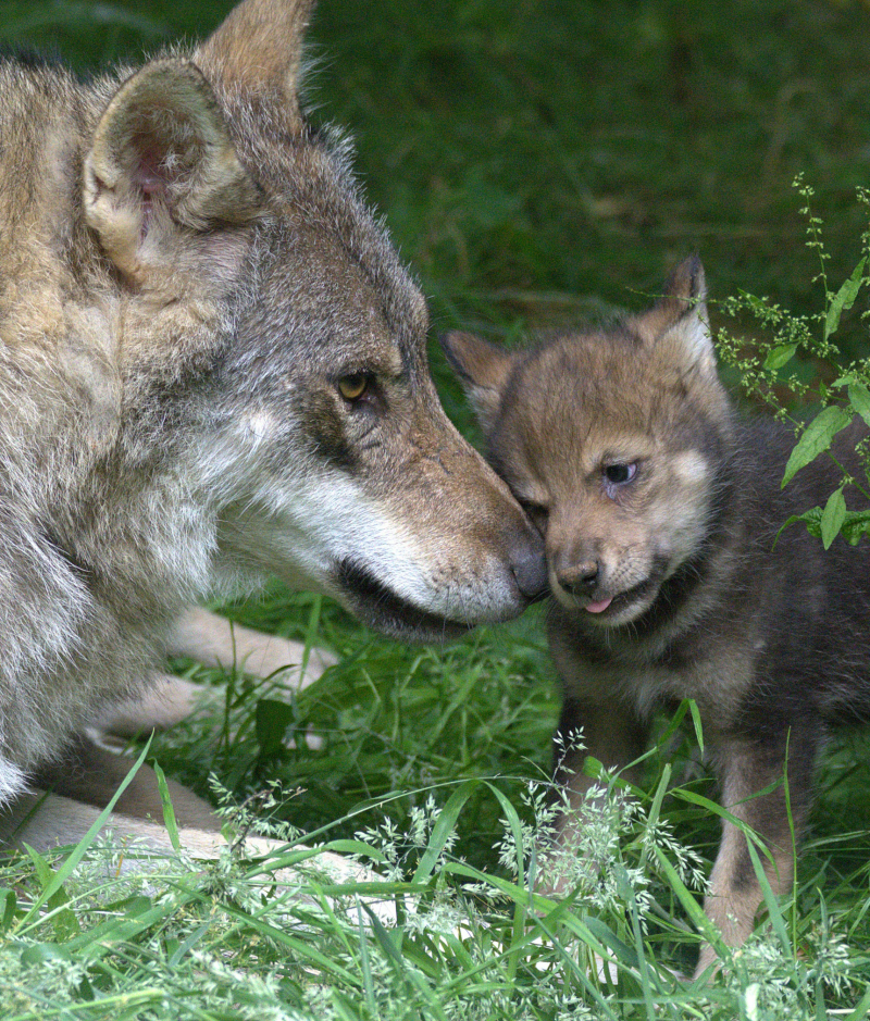 Wolf cubs 14