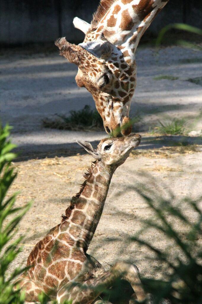 Memphis Zoo_Baby giraffe and mom