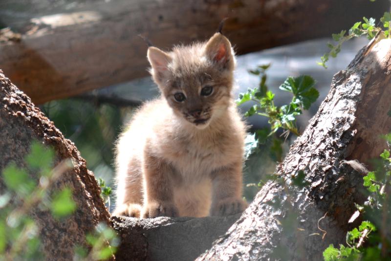 1_Canada lynx in exhibit1