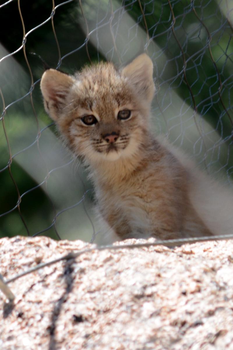 2_Canada lynx in exhibit2