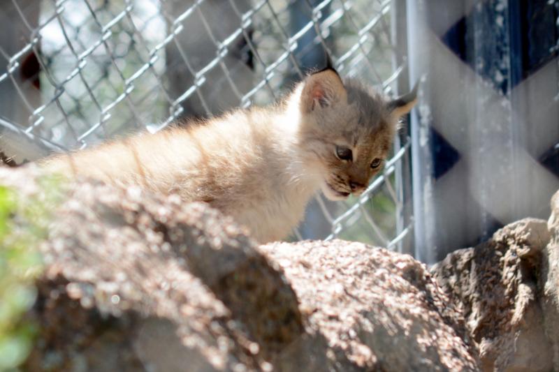 3_Canada lynx in exhibit4