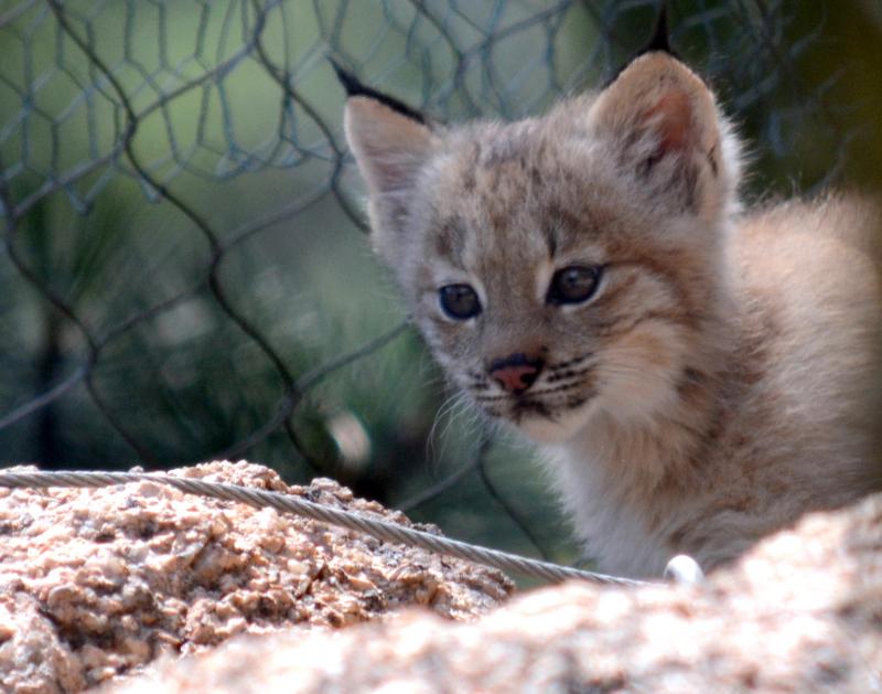 4_Canada lynx in exhibit5