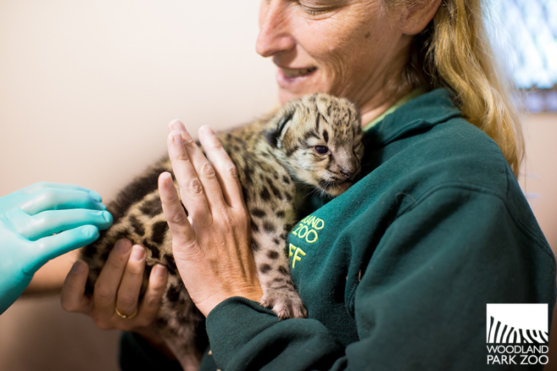 4_2017_07_20 snow leopard kitten-5wm