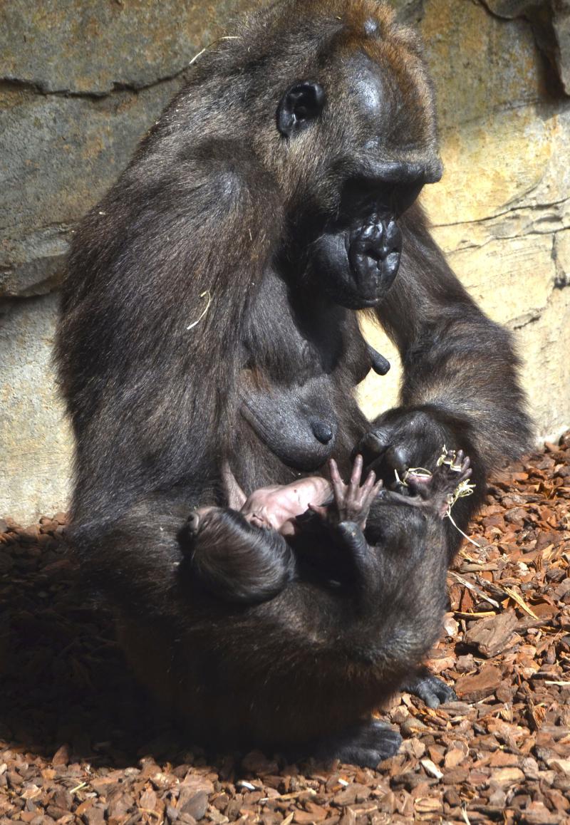 3_Julio 2017 - bebé gorila recién nacido en BIOPARC Valencia (3)