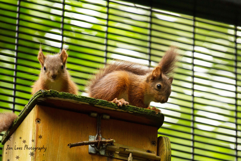 1_(4)  Photo credit - Jon Lees    Belfast Zoo born red squirrels have been released to protected areas as a ground-breaking conservation effort.