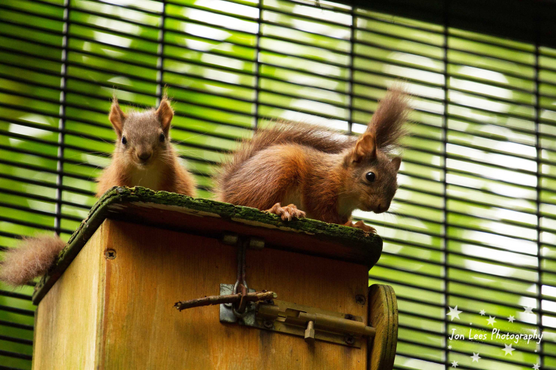 4_(2)  Photo credit - Jon Lees     The kits were spotted outside of their drey for the first time at the start of July and can now be spotted in red squirrel nook