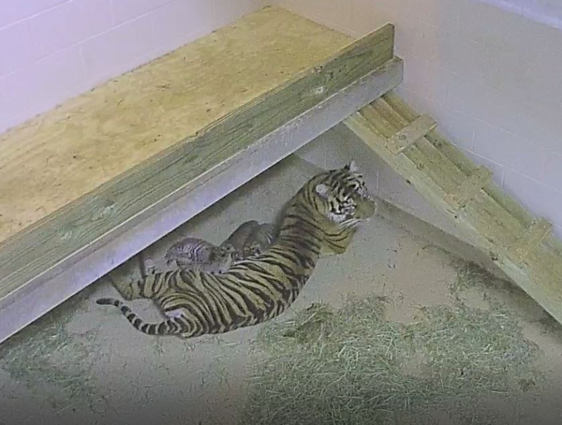 6_Sumatran tiger Lola nursing her cubs and new Amur tiger cub Zoya 7.21.17