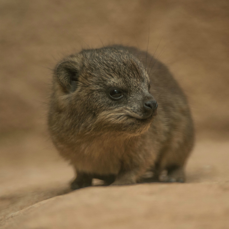 SQUARE Rock hyrax triplets born at Chester Zoo (21)