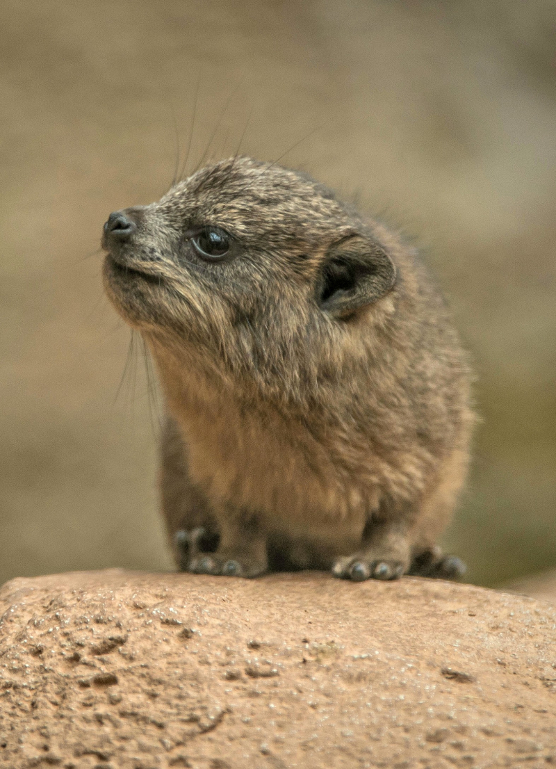 VERT Rock hyrax triplets born at Chester Zoo (23)